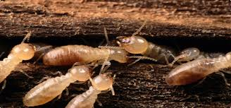 How Do Researchers Know How Termite Nests Are Structured When They Are Hidden Below Ground Or Within Wood?