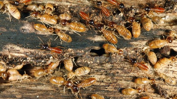 When Are Homes At The Greatest Risk Of Termite Infestations?