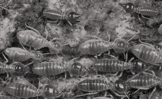 An Invasive Termite Led To Massive Destruction In The US