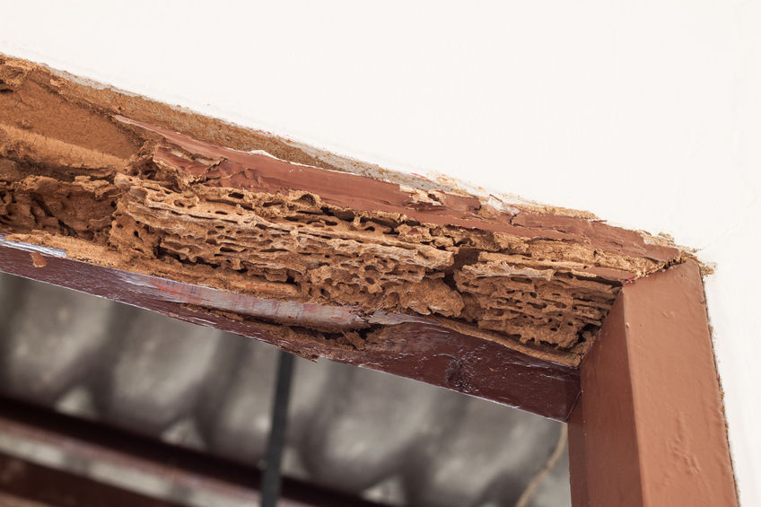 Fungal Wood Rot On Structural Lumber Within Homes Attracts Termites And Stimulates Their Feeding Behavior